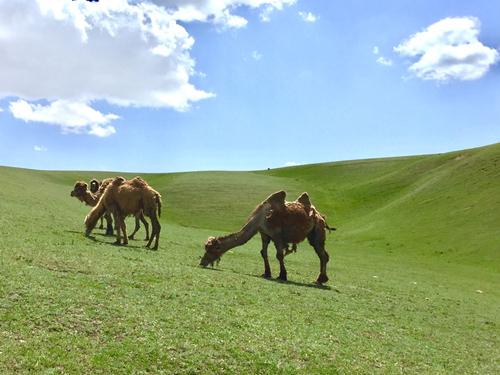 新疆有什么特产---骆驼奶